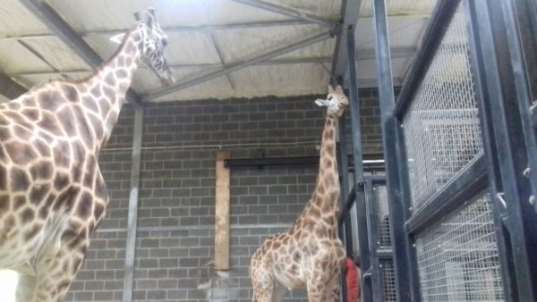 chessington-zoo-agricultural-insualation-zoo-enclosure-insulation-600x338